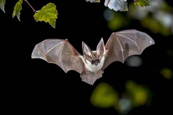Coronavirus Found in EIGHT Species of BATS